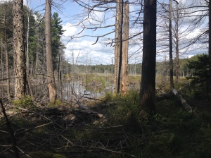 Adirondack beaver pond.  Note the casting conditions.